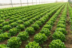 Grow salad in greenhouse pure eco frendly agriculture